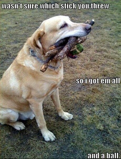 Labrador suu kaikaid ja palli täis