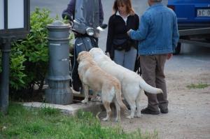 Kaks heledat labradori joogikraani eesmärgipäraselt kasutamas