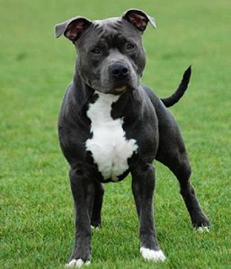 Amstaff  (foto: www.dogbreedslist.info)