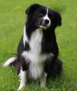Border-collie (pilt: www.rks.fi)