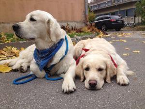 Isane ja emane kuldne retiiver: Rocky ja Ellie