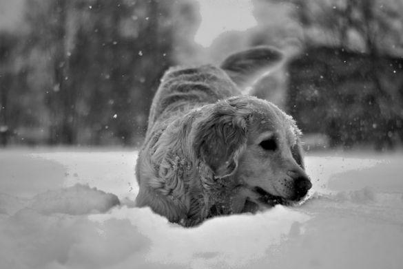 bw_snowdog